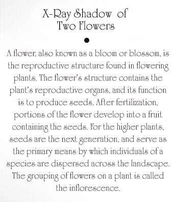 Two Flowers Text